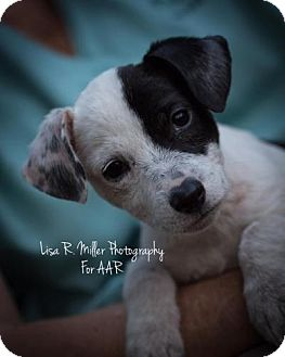 Chihuahua/Terrier (Unknown Type, Medium) Mix Puppy for adoption in Freeport, Florida - Ugga