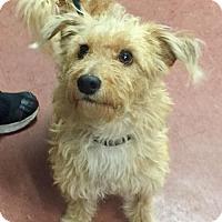 Adopt A Pet :: Calvin - Mission Viejo, CA