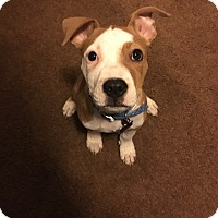 Adopt A Pet :: Bentley - Grand Rapids, MI
