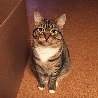 Domestic Shorthair Cat for adoption in Los Angeles, California - Violet