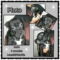 Mastiff/American Staffordshire Terrier Mix Puppy for adoption in Richmond, California - Pluto