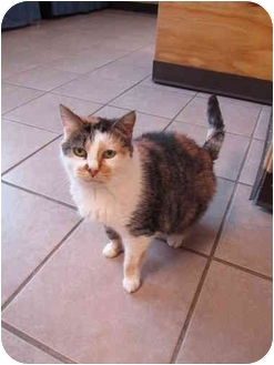 Domestic Shorthair Cat for adoption in Pascoag, Rhode Island - Kandi