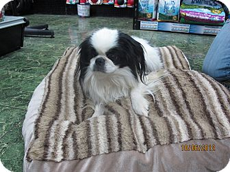 Japanese Chin Dog for adoption in St. Louis, Missouri - Fuji Fluff