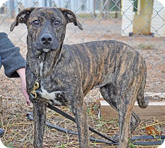 Catahoula Leopard Dog/Labrador Retriever Mix Dog for adoption in Lebanon, Maine - Zebra-URGENT
