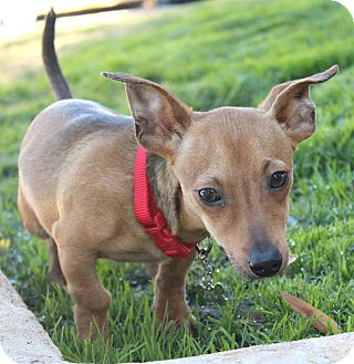 Dachshund Mix Puppy for adoption in Bellflower, California - Amos