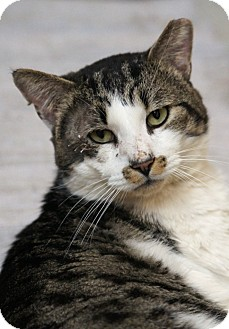 Domestic Shorthair Cat for adoption in Medford, Massachusetts - Eggarton