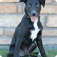 Adopt A Pet :: Bear Bear - Justin, TX