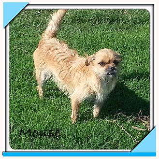 Shih Tzu/Terrier (Unknown Type, Small) Mix Dog for adoption in San Antonio, Texas - Mouse