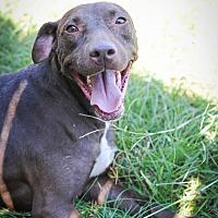 Labrador Retriever Mix Dog for adoption in Jackson, Mississippi - Richard