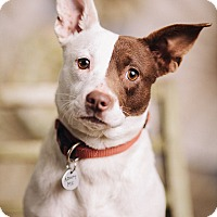 Adopt A Pet :: Rocky Road - Portland, OR