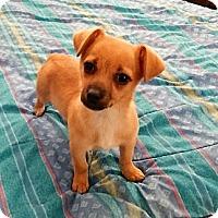 Adopt A Pet :: Cricket - Studio City, CA