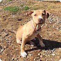 Adopt A Pet :: Daisy meet me 5/13 - Manchester, CT