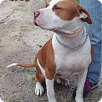 American Bulldog Mix Dog for adoption in Westminster, Maryland - Biggs