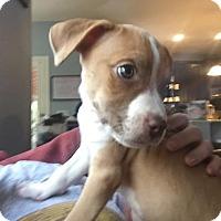 Adopt A Pet :: Ben - Austin, TX