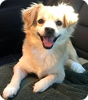 Tibetan Spaniel/Spaniel (Unknown Type) Mix Dog for adoption in Los Angeles, California - COREY (video)