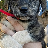 Great Pyrenees/Shepherd (Unknown Type) Mix Puppy for adoption in Manchester, New Hampshire - Logan - pending