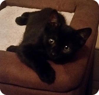 Domestic Shorthair Cat for adoption in Chino, California - Olivia