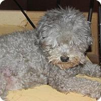 Adopt A Pet :: Lil - Rocky Mount, NC