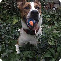 Adopt A Pet :: Bowser - Cambridge, ON