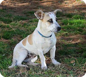 Corgi/Beagle Mix Dog for adoption in Troy, Illinois - Mary Kay