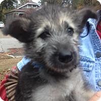 Adopt A Pet :: Ollie - Memphis, TN