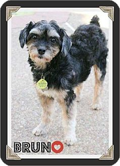 Schnauzer (Miniature)/Yorkie, Yorkshire Terrier Mix Dog for adoption in Arlington, Texas - BRUNO