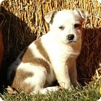 Australian Cattle Dog/Terrier (Unknown Type, Small) Mix Puppy for adoption in Minneapolis, Minnesota - Katie,Ali,Chloe-Courtesy post