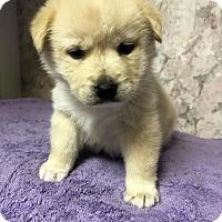 Labrador Retriever Mix Puppy for adoption in Danbury, Connecticut - Nadia