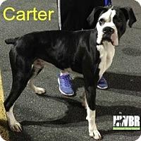 Adopt A Pet :: Carter - Woodinville, WA