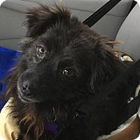 Adopt A Pet :: Blackie - Sweetest Pomeranian Mix - Seattle, WA