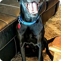 Adopt A Pet :: Blitzen - Newcastle, OK