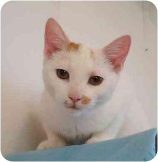 Domestic Shorthair Kitten for adoption in Chicago, Illinois - Shak
