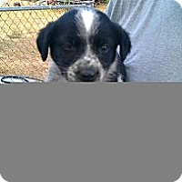 Adopt A Pet :: Sapphire - Conway, AR