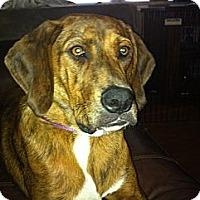 Adopt A Pet :: Stevie - Albany, NY