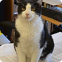 Domestic Shorthair Cat for adoption in Youngtown, Arizona - turkey