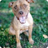 Adopt A Pet :: ISA a kitty pittie! - Brooklyn, NY