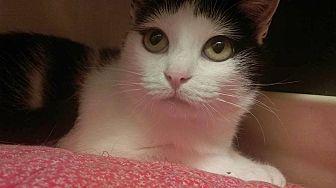 Domestic Shorthair Cat for adoption in Saranac Lake, New York - April