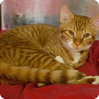 Domestic Shorthair Cat for adoption in New York, New York - Sunny
