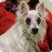 Adopt A Pet :: Betty Boop - Elyria, OH