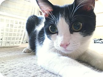 Domestic Shorthair Kitten for adoption in Tucson, Arizona - Napa