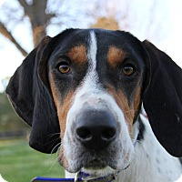 Treeing Walker Coonhound Dog for adoption in Pittsboro, North Carolina - Boomer