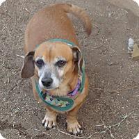 Dachshund Dog for adoption in Riverside, California - CHOO CHOO