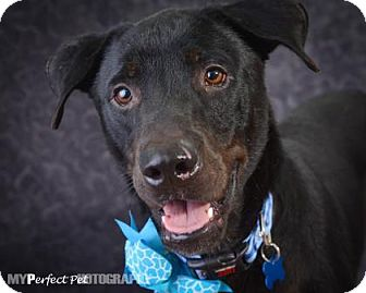 Labrador Retriever Mix Dog for adoption in Miami, Florida - Thomas