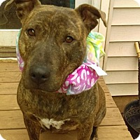 Pit Bull Terrier Mix Dog for adoption in Rockaway, New Jersey - XP Crystal - So. Plainfield - FOSTER/ADOPT