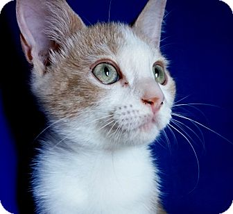 Domestic Shorthair Kitten for adoption in Houston, Texas - Baggins
