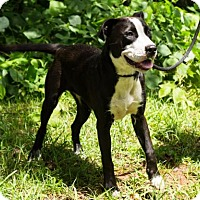 Terrier (Unknown Type, Medium)/Pit Bull Terrier Mix Dog for adoption in Clarkesville, Georgia - Charlene