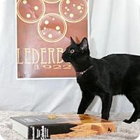 Domestic Shorthair Kitten for adoption in Fayetteville, Arkansas - Esther Lederberg