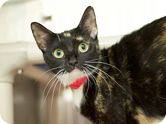 Domestic Shorthair Cat for adoption in Los Angeles, California - Momo