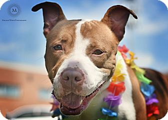 American Staffordshire Terrier Mix Dog for adoption in St. Louis, Missouri - Sicily
