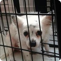 Maltese/Chihuahua Mix Dog for adoption in Palm Bay, Florida - Jazz